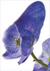 Gift Card - Aconite (Aconitum Napellus)
